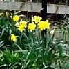 Daffodils, and other little numbers.